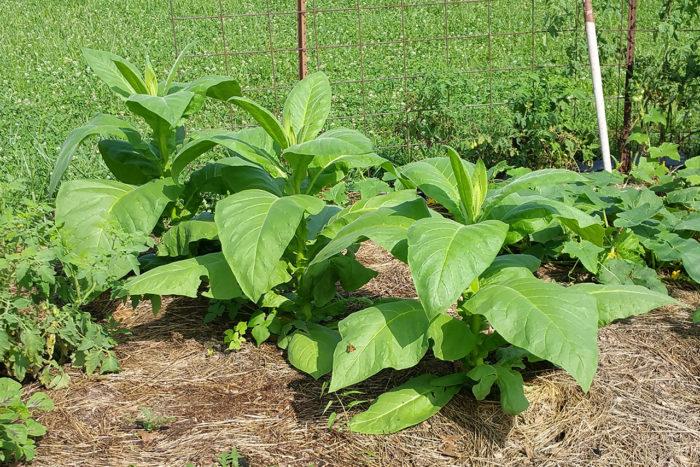 Табак выращивание и уход в домашних условиях