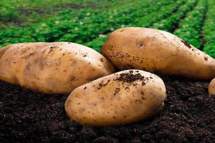 Подготовка семенного картофеля к посадке