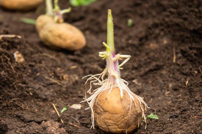 Посадка картофеля с ростками