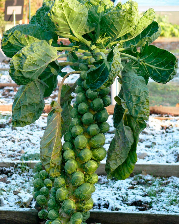 Дозаривание брюссельской капусты осенью