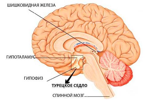 Турецкое седло головного мозга человека