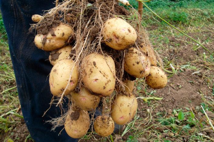 Удобрение картофеля сидератами