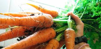 Крупная морковь урожай