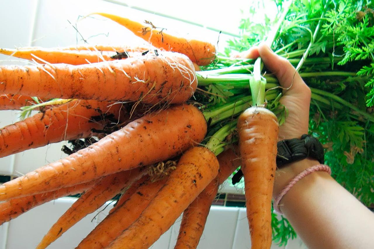 Как вырастить морковь в открытом грунте и в домашних условиях?