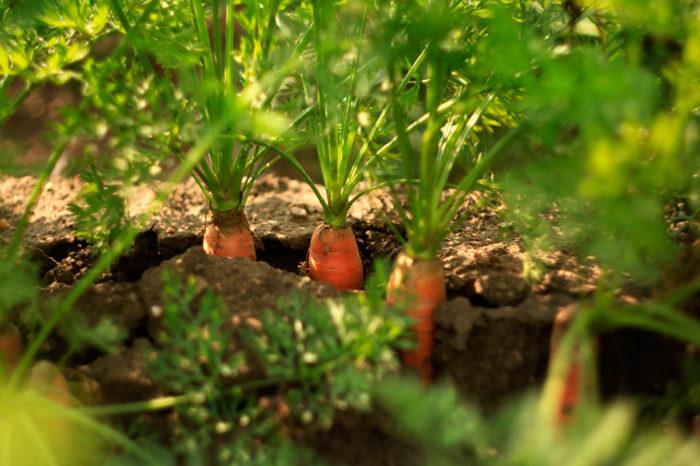 Почва по морковь