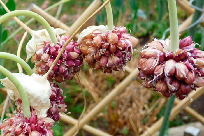 Посев бульбочек чеснока