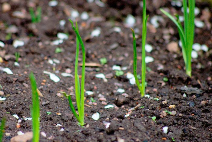 Посев и уход за семенами чеснока