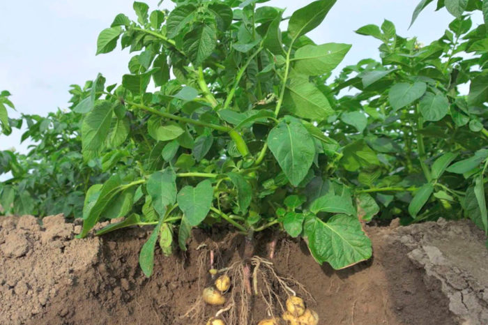Правильная посадка картофеля