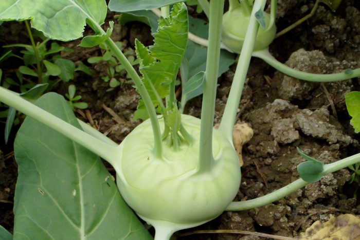 Кольраби агротехника