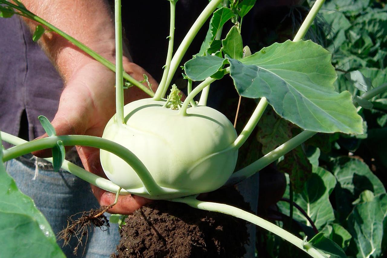 Как вырастить кольраби из семян