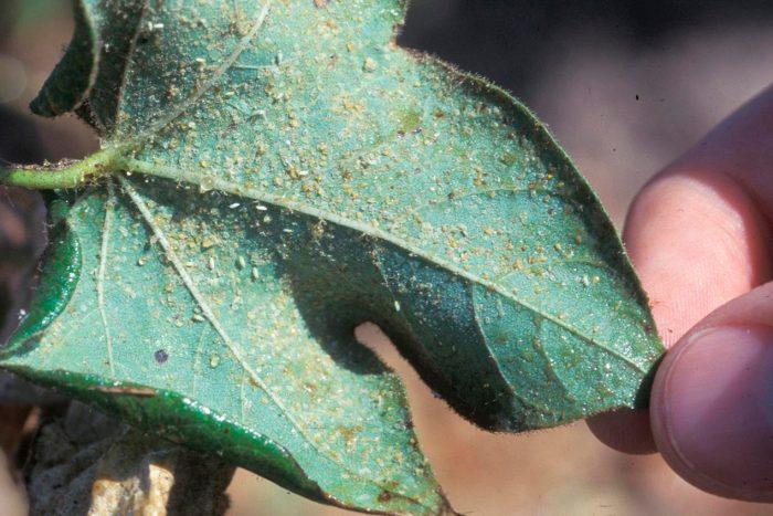 Пораженное белокрылкой растение