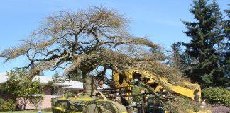 Посадка большого дерева около дома