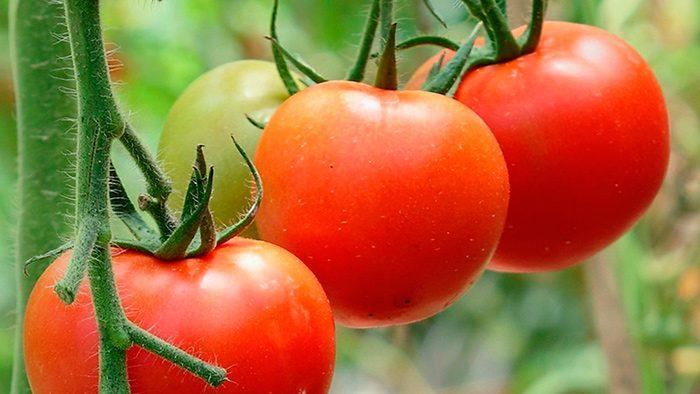 Профилактика болезней у томатов