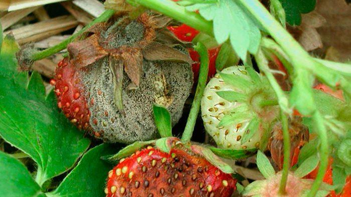Серая гниль на ягодах