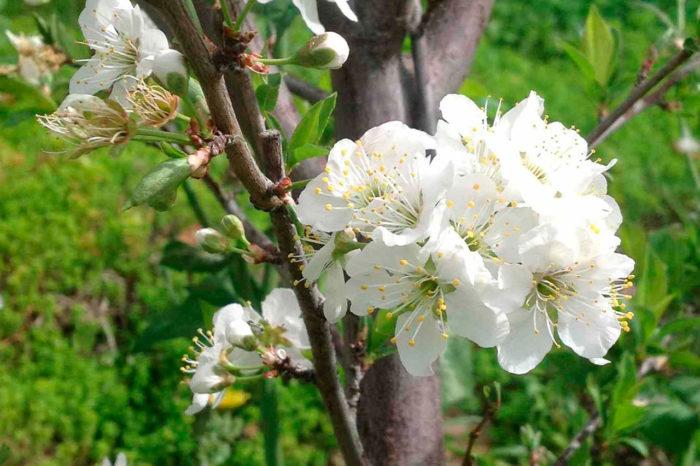 Сливовое дерево цветет