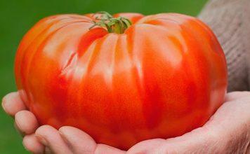 Лежкие томаты