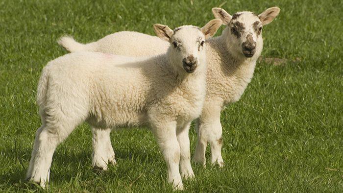 Молодняк овец