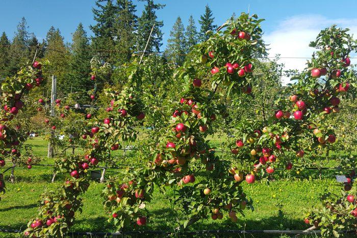 Нехватка микроэлементов у яблонь