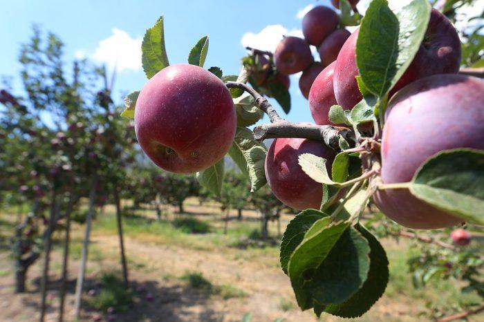 Яблоневый сад и грунтовые воды