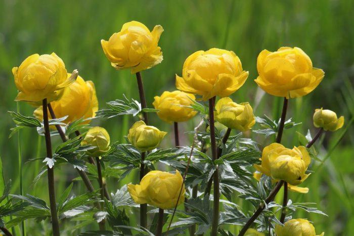 Купальница европейская цветок