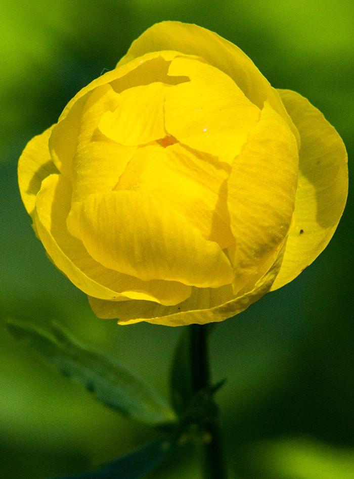 Желтые цветы купавы