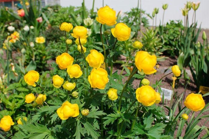 Агротехника выращивания купальницы