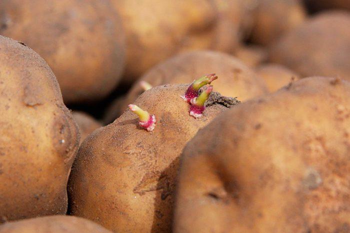 Устойчивые к колораду сорта картофеля
