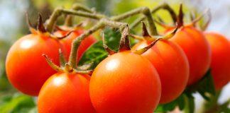 Ранние томаты для теплицы