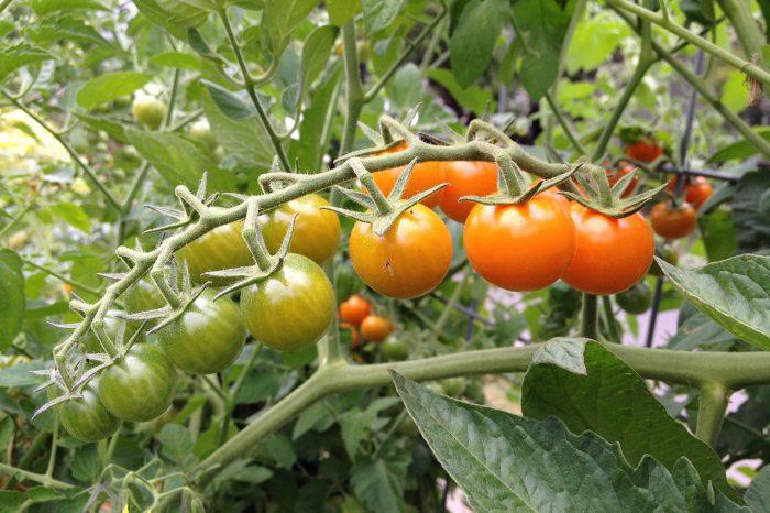 Формирование кустов томатов