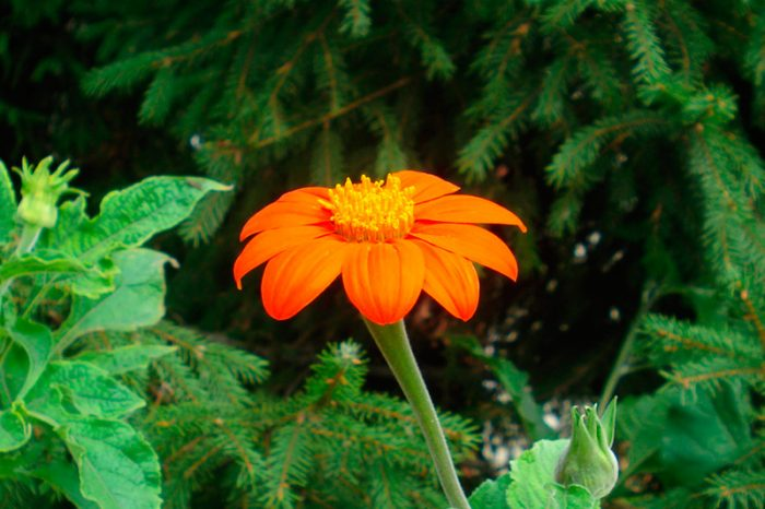 Титония круглолистная в саду