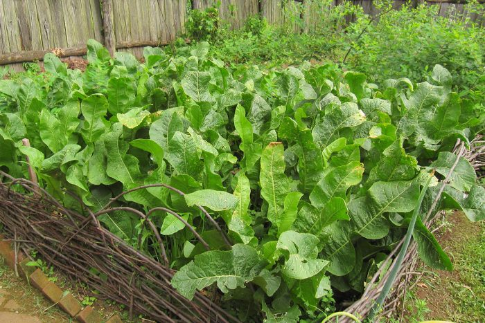 Борьба с хренов в огороде