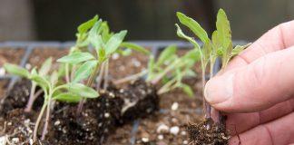 Гниль корневой шейки рассады томатов