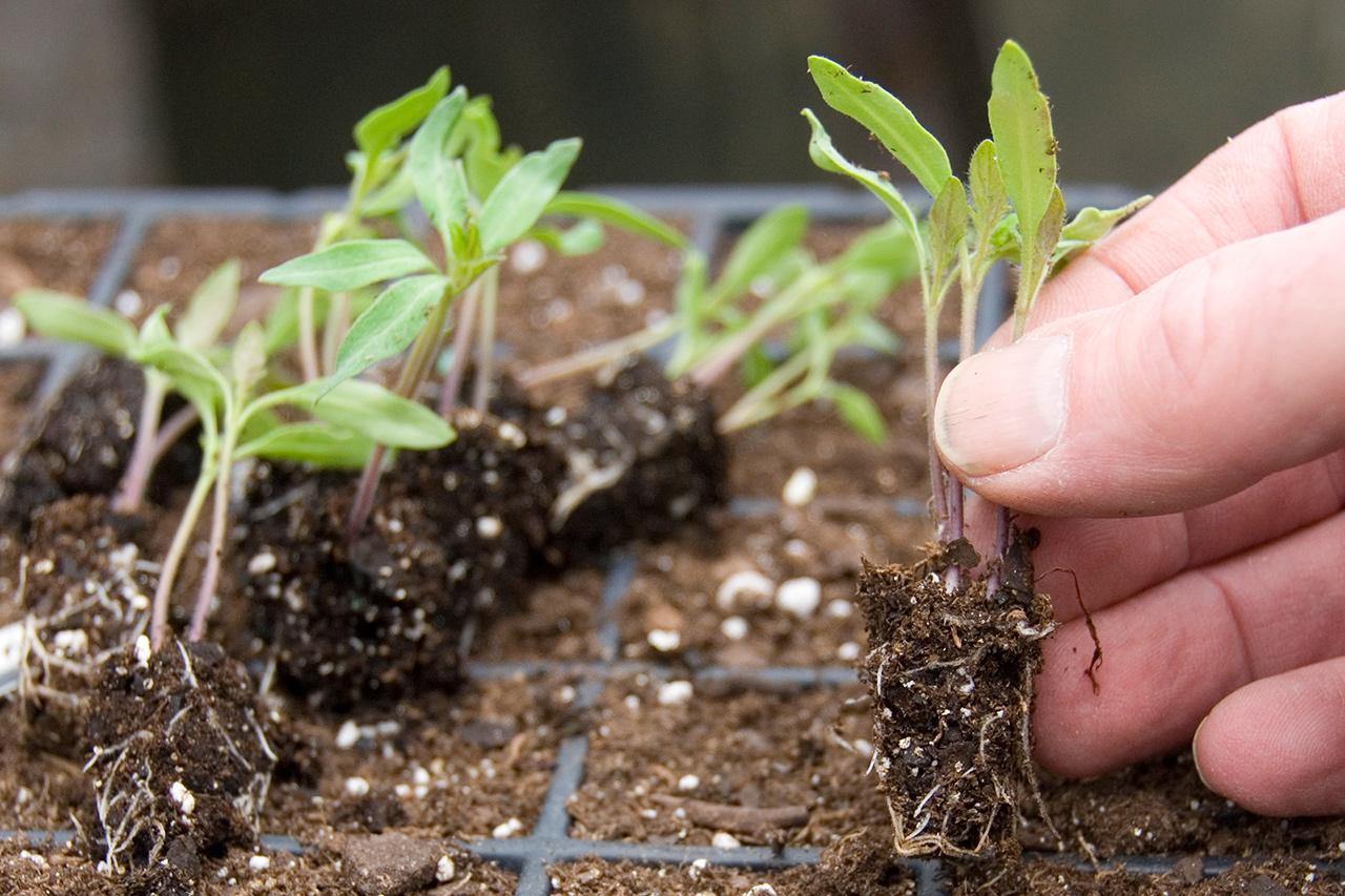Черная ножка - как уберечь рассаду помидоров