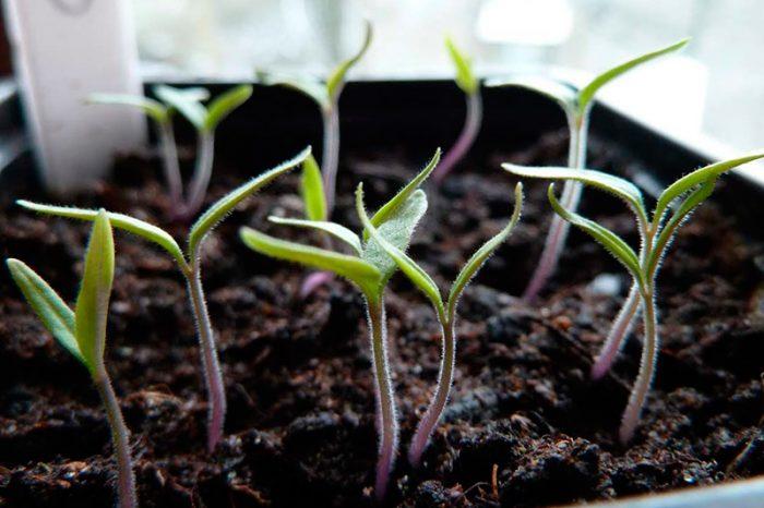 Земля для рассады томатов