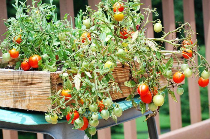 Секреты выращивания томатов на балконе
