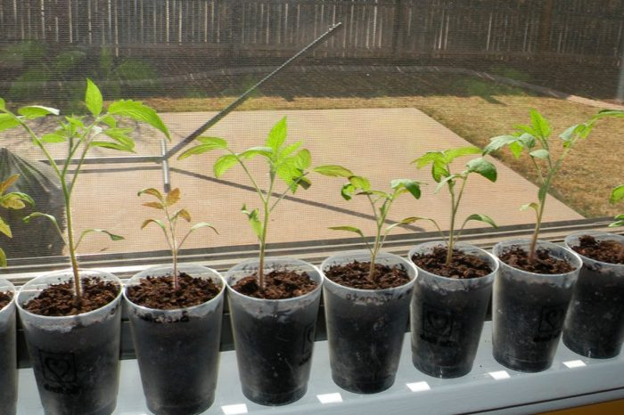 Рассада томатов на окне квартиры