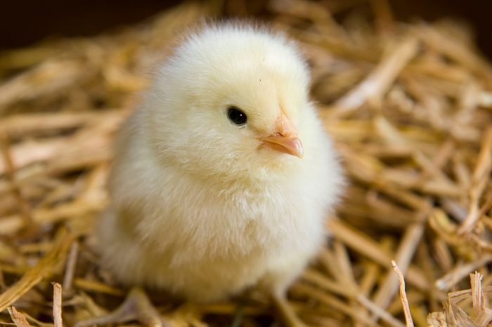 Выращивание суточных цыплят