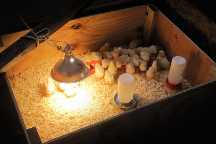 Содержание цыплят до 15 дней