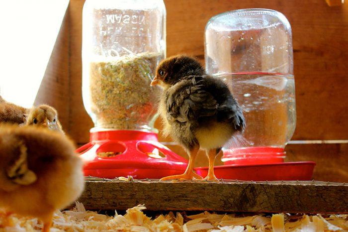 Режим кормления суточных цыплят