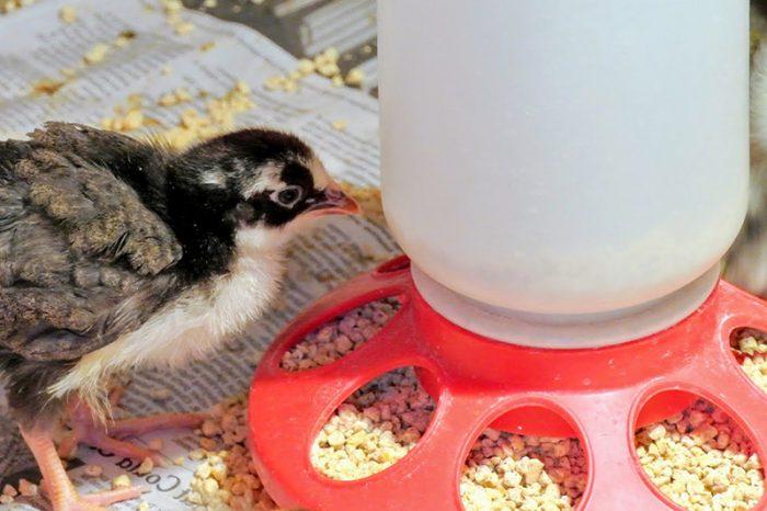 Выбор корма для цыпляток