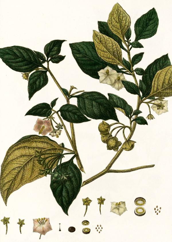Внешний вид растения сараха съедобной