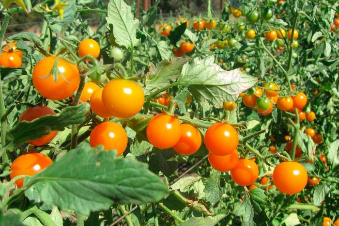 Устойчивые к фитофторе помидоры