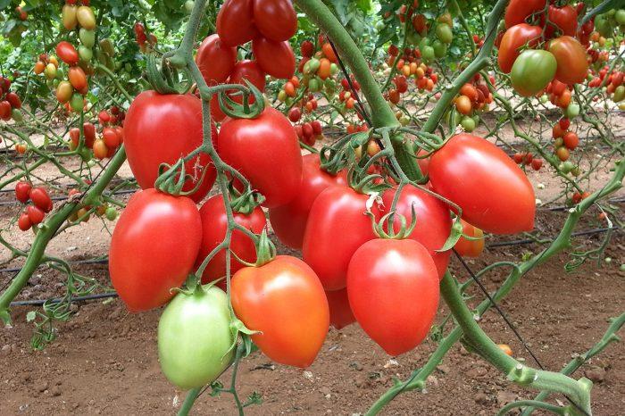 Самые ранние помидоры
