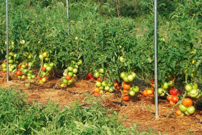 Агротехника томатов в открытом грунте