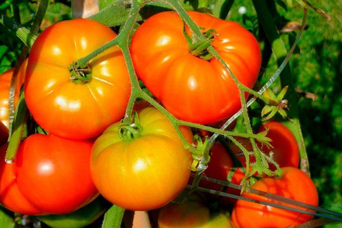 Крупноплодные помидоры