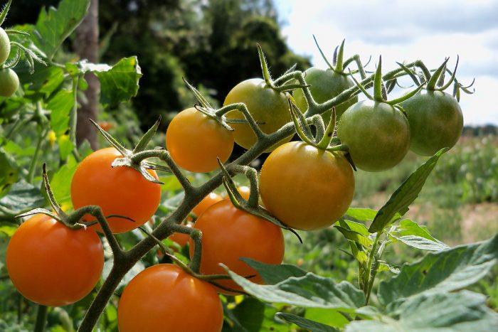 Новые сорта помидоров для открытого грунта