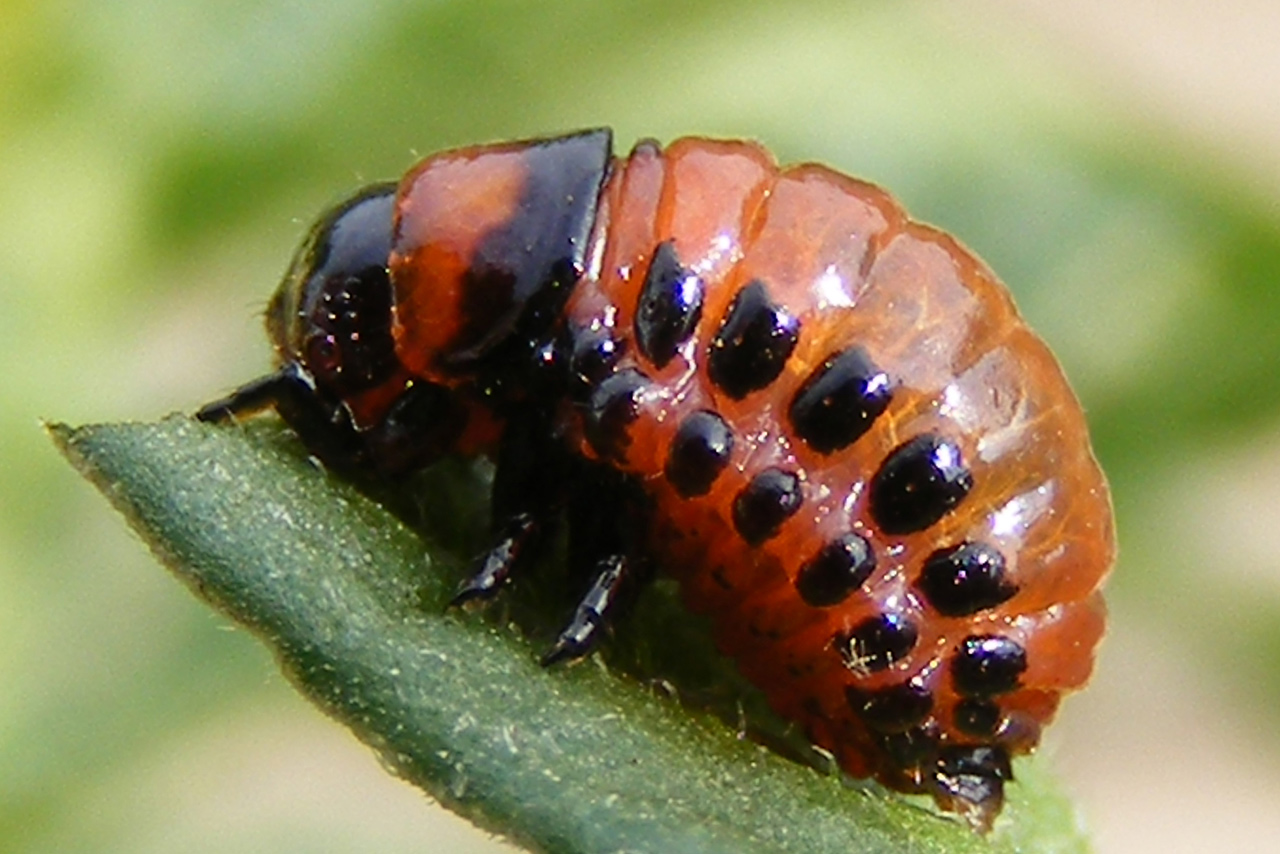 старая песнка про колорадского жука