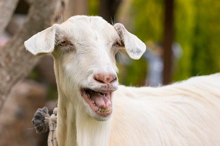 Домашняя коза в хозяйстве