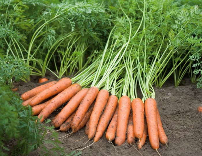 Морковь в чем ее польза
