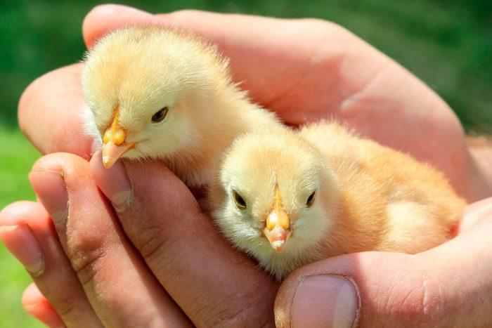 Уход за цыплятками